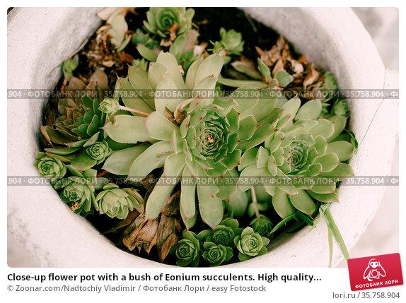 Close-up flower pot with a bush of Eonium succulents. High quality... Стоковое фото, фотограф Zoonar.com/Nadtochiy Vladimir / easy Fotostock / Фотобанк Лори