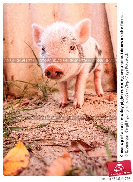 Close-up of a cute muddy piglet running around outdoors on the farm... Стоковое фото, фотограф Zoonar.com/Sergii Figurnyi / age Fotostock / Фотобанк Лори