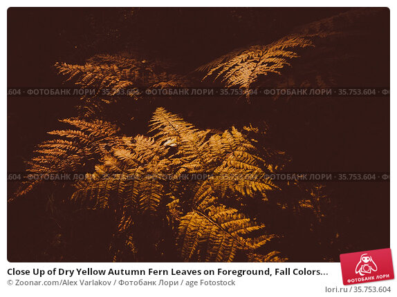 Close Up of Dry Yellow Autumn Fern Leaves on Foreground, Fall Colors... Стоковое фото, фотограф Zoonar.com/Alex Varlakov / age Fotostock / Фотобанк Лори