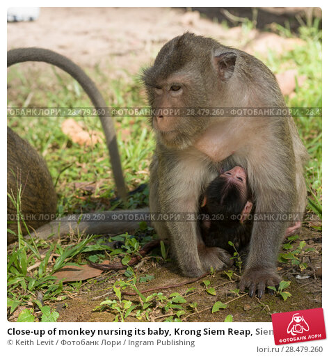 Купить «Close-up of monkey nursing its baby, Krong Siem Reap, Siem Reap, Cambodia», фото № 28479260, снято 19 ноября 2018 г. (c) Ingram Publishing / Фотобанк Лори