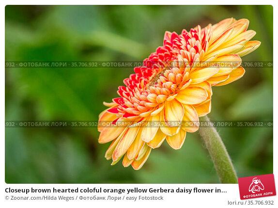 Closeup brown hearted coloful orange yellow Gerbera daisy flower in... Стоковое фото, фотограф Zoonar.com/Hilda Weges / easy Fotostock / Фотобанк Лори