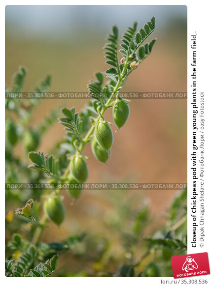 Closeup of Chickpeas pod with green young plants in the farm field,. Стоковое фото, фотограф Dipak Chhagan Shelare / easy Fotostock / Фотобанк Лори