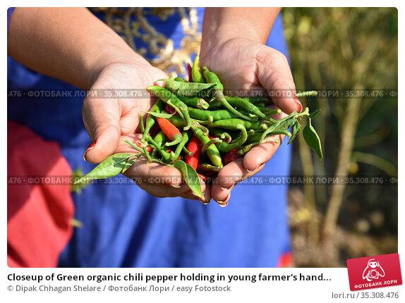 Closeup of Green organic chili pepper holding in young farmer's hand... Стоковое фото, фотограф Dipak Chhagan Shelare / easy Fotostock / Фотобанк Лори