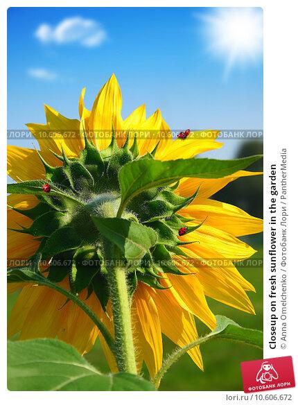 Closeup on fresh sunflower in the garden. Стоковое фото, фотограф Anna Omelchenko / PantherMedia / Фотобанк Лори