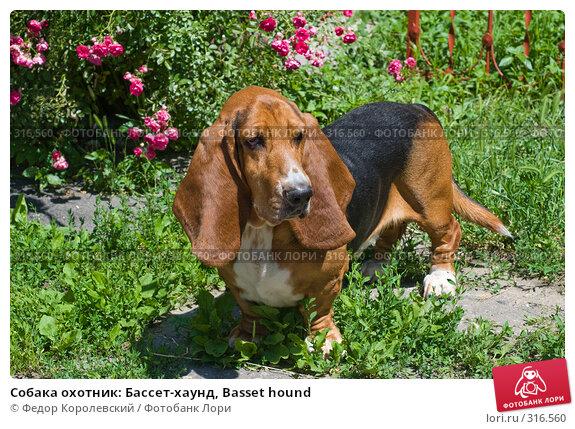 Купить «Cобака охотник: Бассет-хаунд, Basset hound», фото № 316560, снято 5 июня 2008 г. (c) Федор Королевский / Фотобанк Лори