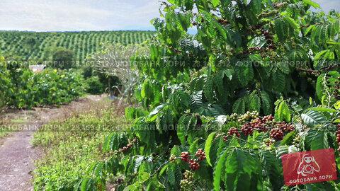 Купить «Coffee plantation in the highlands of Eastern Vietnam», видеоролик № 28169312, снято 12 февраля 2017 г. (c) Алексей Кузнецов / Фотобанк Лори