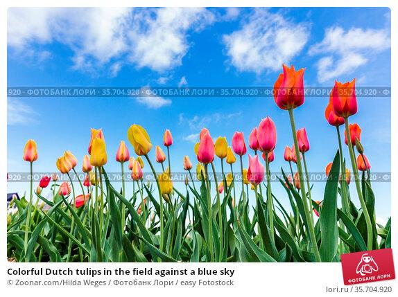 Colorful Dutch tulips in the field against a blue sky. Стоковое фото, фотограф Zoonar.com/Hilda Weges / easy Fotostock / Фотобанк Лори