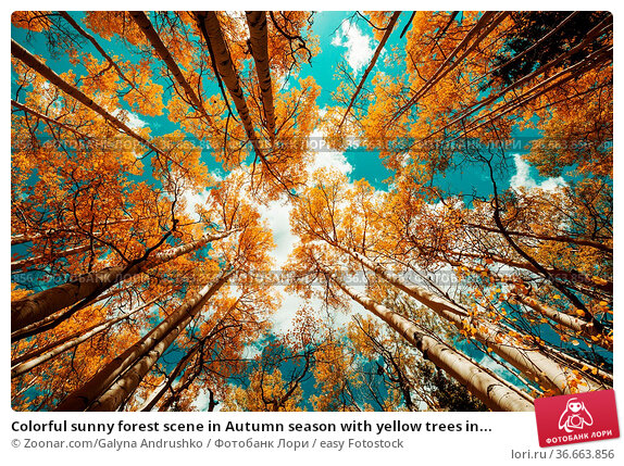 Colorful sunny forest scene in Autumn season with yellow trees in... Стоковое фото, фотограф Zoonar.com/Galyna Andrushko / easy Fotostock / Фотобанк Лори