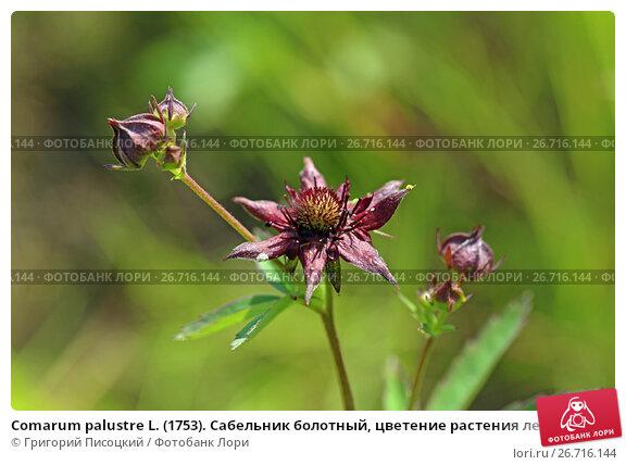 Купить «Comarum palustre L. (1753). Сабельник болотный, цветение растения летом на Ямале», фото № 26716144, снято 18 июля 2017 г. (c) Григорий Писоцкий / Фотобанк Лори