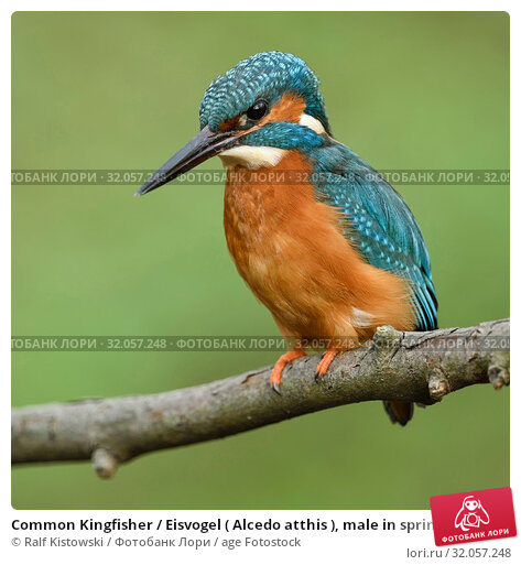Common Kingfisher / Eisvogel ( Alcedo atthis ), male in spring, perched on a branch, hunting, frontal side view, detailed close-up, wildlife, Europe. Стоковое фото, фотограф Ralf Kistowski / age Fotostock / Фотобанк Лори