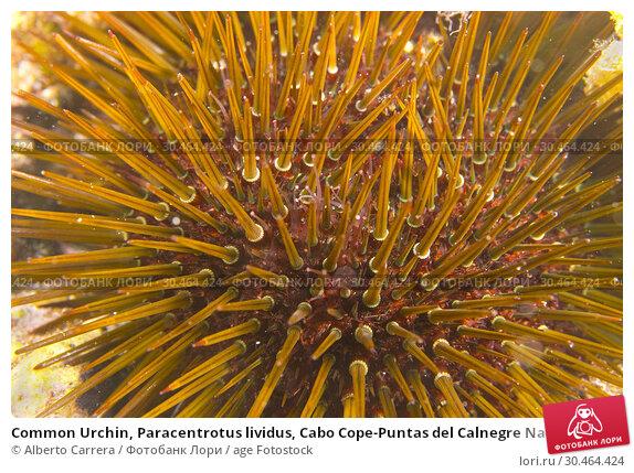 Common Urchin, Paracentrotus lividus, Cabo Cope-Puntas del Calnegre Natural Park, Mediterranean Sea, Region de Murcia, Murcia, Spain, Europe. Стоковое фото, фотограф Alberto Carrera / age Fotostock / Фотобанк Лори