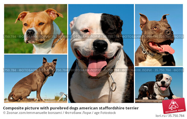 Composite picture with purebred dogs american staffordshire terrier. Стоковое фото, фотограф Zoonar.com/emmanuelle bonzami / age Fotostock / Фотобанк Лори