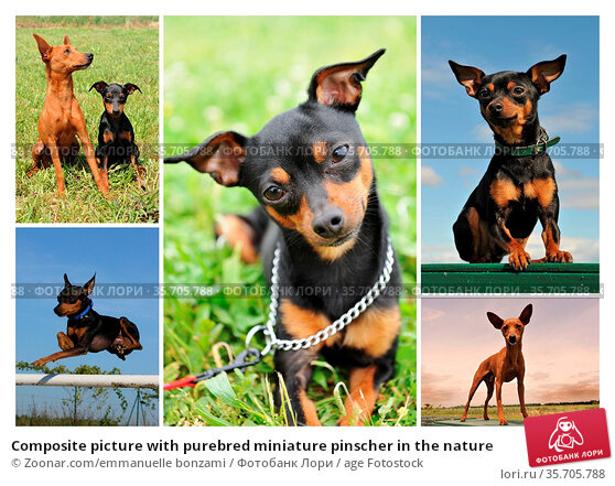 Composite picture with purebred miniature pinscher in the nature. Стоковое фото, фотограф Zoonar.com/emmanuelle bonzami / age Fotostock / Фотобанк Лори
