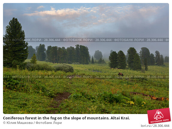 Купить «Coniferous forest in the fog on the slope of mountains. Altai Krai.», фото № 28306444, снято 20 июля 2015 г. (c) Юлия Машкова / Фотобанк Лори