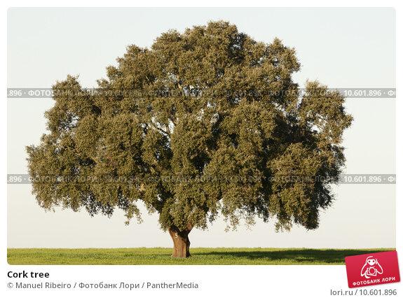 Cork tree. Стоковое фото, фотограф Manuel Ribeiro / PantherMedia / Фотобанк Лори