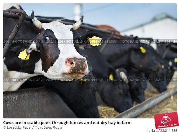 Купить «Cows are in stable peek through fences and eat dry hay in farm», фото № 28211536, снято 7 июля 2015 г. (c) Losevsky Pavel / Фотобанк Лори