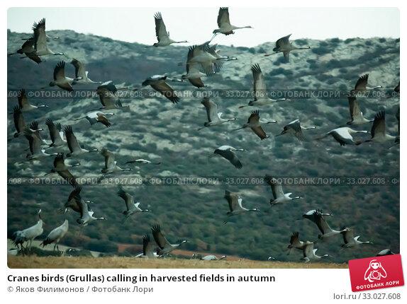 Купить «Cranes birds (Grullas) calling in harvested fields in autumn», фото № 33027608, снято 8 апреля 2020 г. (c) Яков Филимонов / Фотобанк Лори