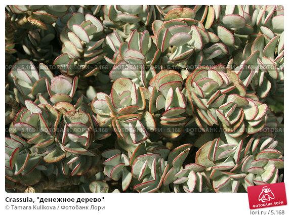 """Купить «Crassula, """"денежное дерево""""», фото № 5168, снято 1 июля 2006 г. (c) Tamara Kulikova / Фотобанк Лори"""