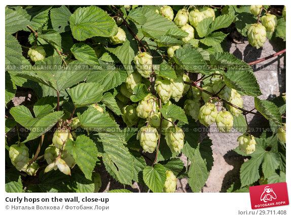 Купить «Curly hops on the wall, close-up», фото № 29711408, снято 23 сентября 2018 г. (c) Наталья Волкова / Фотобанк Лори