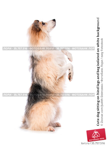 Cute dog sitting on hind legs and beg isolated on white background. Стоковое фото, фотограф Zoonar.com/Judith Dzierzawa / easy Fotostock / Фотобанк Лори
