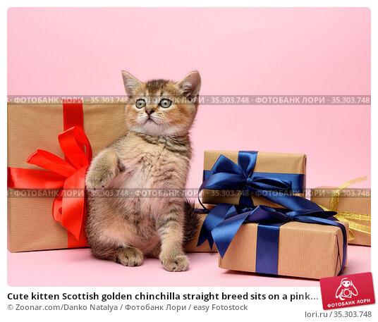 Cute kitten Scottish golden chinchilla straight breed sits on a pink... Стоковое фото, фотограф Zoonar.com/Danko Natalya / easy Fotostock / Фотобанк Лори