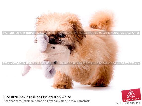 Cute little pekingese dog isolated on white. Стоковое фото, фотограф Zoonar.com/Frenk Kaufmann / easy Fotostock / Фотобанк Лори