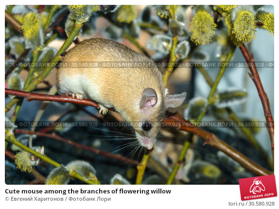 Купить «Cute mouse among the branches of flowering willow», фото № 30580928, снято 14 апреля 2019 г. (c) Евгений Харитонов / Фотобанк Лори