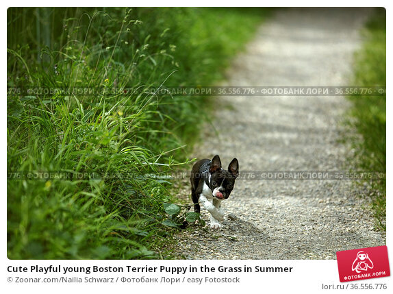 Cute Playful young Boston Terrier Puppy in the Grass in Summer. Стоковое фото, фотограф Zoonar.com/Nailia Schwarz / easy Fotostock / Фотобанк Лори