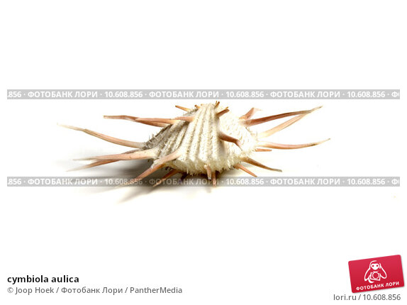 cymbiola aulica. Стоковое фото, фотограф Joop Hoek / PantherMedia / Фотобанк Лори