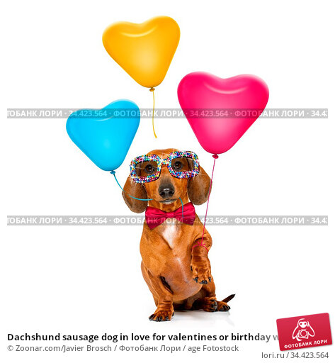 Dachshund sausage dog in love for valentines or birthday with red... Стоковое фото, фотограф Zoonar.com/Javier Brosch / age Fotostock / Фотобанк Лори