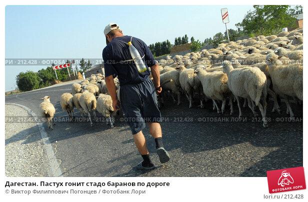 Дагестан. Пастух гонит стадо баранов по дороге, фото № 212428, снято 29 июля 2007 г. (c) Виктор Филиппович Погонцев / Фотобанк Лори