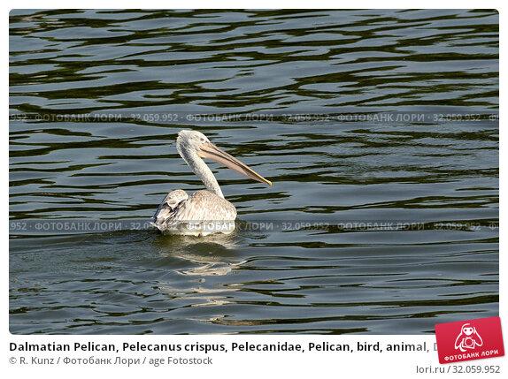 Dalmatian Pelican, Pelecanus crispus, Pelecanidae, Pelican, bird, animal, Danube, Bulgaria. Стоковое фото, фотограф R. Kunz / age Fotostock / Фотобанк Лори