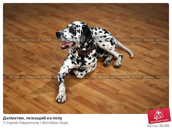 Далматин, лежащий на полу, фото № 26056, снято 1 ноября 2004 г. (c) Сергей Лаврентьев / Фотобанк Лори