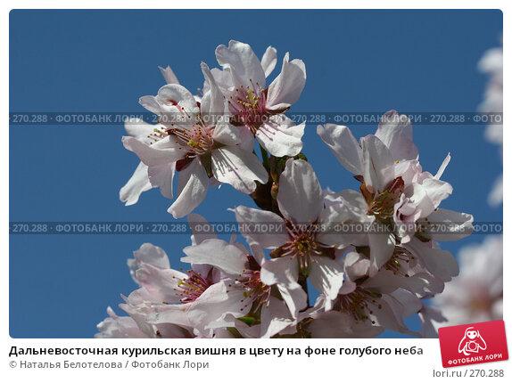 Дальневосточная курильская вишня в цвету на фоне голубого неба, фото № 270288, снято 2 мая 2008 г. (c) Наталья Белотелова / Фотобанк Лори