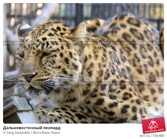 Дальневосточный леопард, фото № 134460, снято 10 октября 2004 г. (c) Serg Zastavkin / Фотобанк Лори