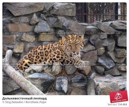 Дальневосточный леопард, фото № 134464, снято 10 октября 2004 г. (c) Serg Zastavkin / Фотобанк Лори