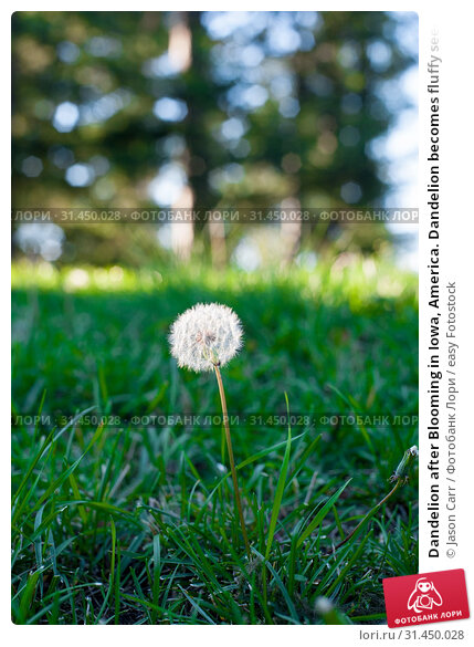 Dandelion after Blooming in Iowa, America. Dandelion becomes fluffy seeds to fly away to far place. Стоковое фото, фотограф Jason Carr / easy Fotostock / Фотобанк Лори