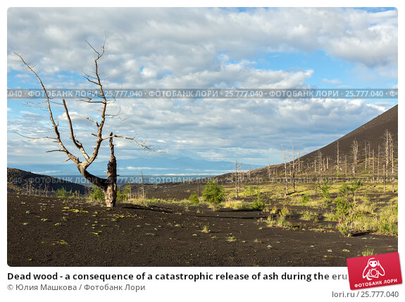 Купить «Dead wood - a consequence of a catastrophic release of ash during the eruption of the volcano in 1975 Tolbachik north breakthrough», фото № 25777040, снято 21 августа 2016 г. (c) Юлия Машкова / Фотобанк Лори