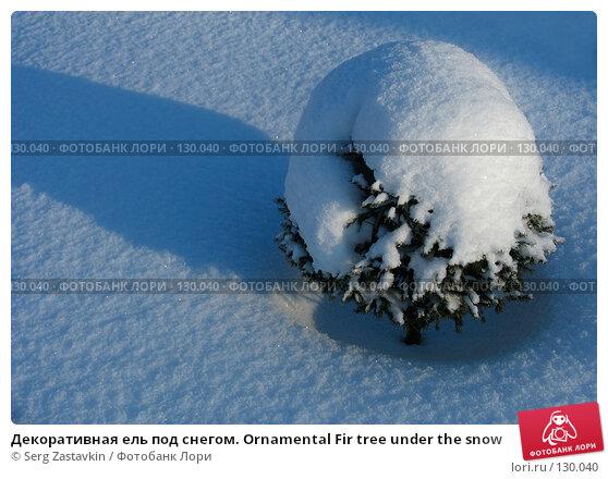 Декоративная ель под снегом. Ornamental Fir tree under the snow, фото № 130040, снято 1 декабря 2005 г. (c) Serg Zastavkin / Фотобанк Лори