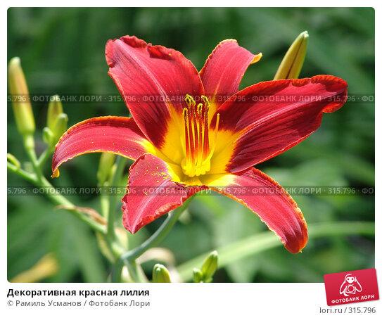 Декоративная красная лилия, фото № 315796, снято 7 июня 2008 г. (c) Рамиль Усманов / Фотобанк Лори
