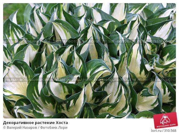 Декоративное растение Хоста, фото № 310568, снято 1 июня 2008 г. (c) Валерий Торопов / Фотобанк Лори
