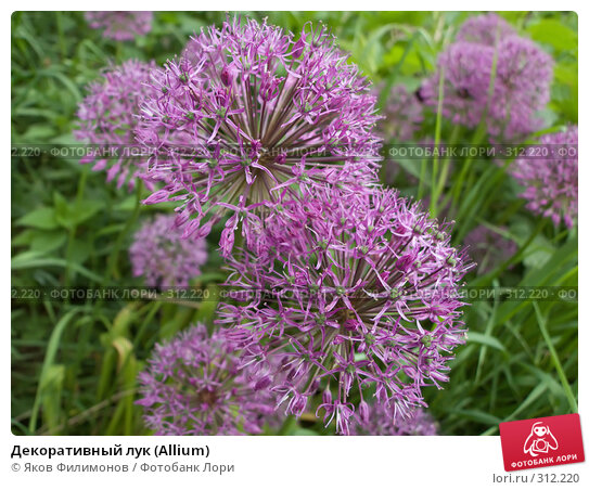 Декоративный лук (Allium), фото № 312220, снято 30 мая 2008 г. (c) Яков Филимонов / Фотобанк Лори