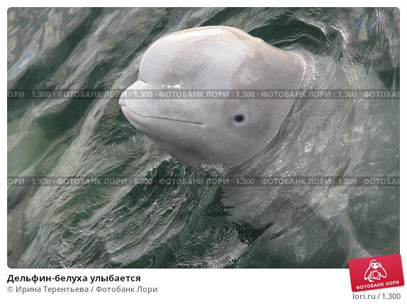 Дельфин-белуха улыбается, эксклюзивное фото № 1300, снято 15 сентября 2005 г. (c) Ирина Терентьева / Фотобанк Лори