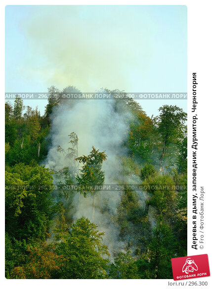 Купить «Деревья в дыму, заповедник Дурмитор, Черногория», фото № 296300, снято 28 августа 2007 г. (c) Fro / Фотобанк Лори