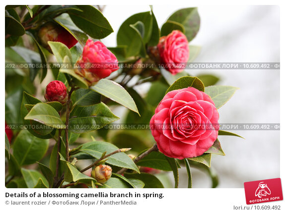 Details of a blossoming camellia branch in spring. Стоковое фото, фотограф laurent rozier / PantherMedia / Фотобанк Лори