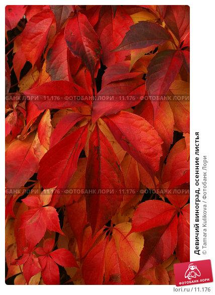 Девичий виноград, осенние листья, фото № 11176, снято 12 октября 2006 г. (c) Tamara Kulikova / Фотобанк Лори