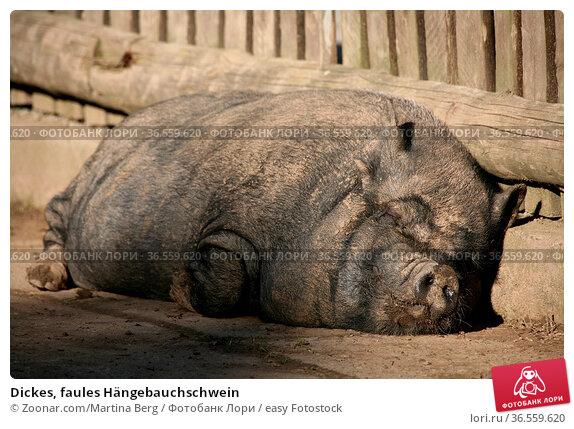 Dickes, faules Hängebauchschwein. Стоковое фото, фотограф Zoonar.com/Martina Berg / easy Fotostock / Фотобанк Лори