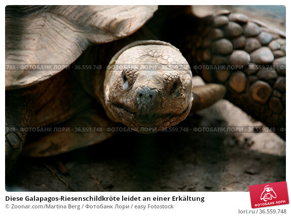 Diese Galapagos-Riesenschildkröte leidet an einer Erkältung. Стоковое фото, фотограф Zoonar.com/Martina Berg / easy Fotostock / Фотобанк Лори
