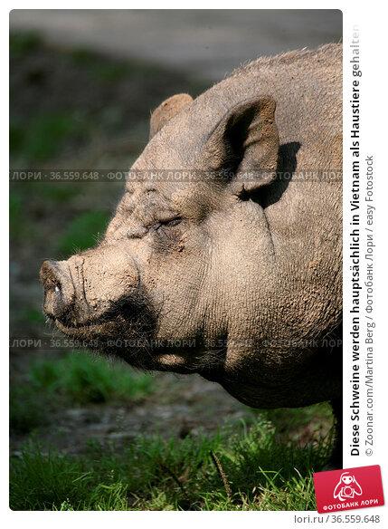 Diese Schweine werden hauptsächlich in Vietnam als Haustiere gehalten. Стоковое фото, фотограф Zoonar.com/Martina Berg / easy Fotostock / Фотобанк Лори