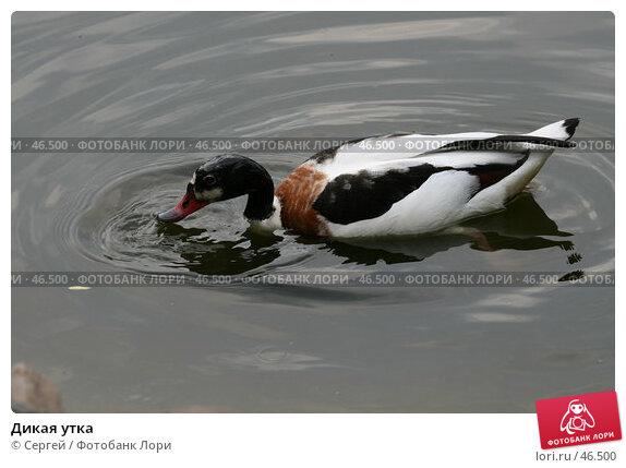 Купить «Дикая утка», фото № 46500, снято 22 мая 2007 г. (c) Сергей / Фотобанк Лори